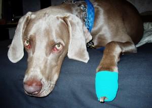 verletzter Hund