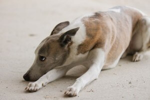 Ängstlicher Hund an Silvester