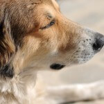 Hund mit geschlossenen Augen vor Angst
