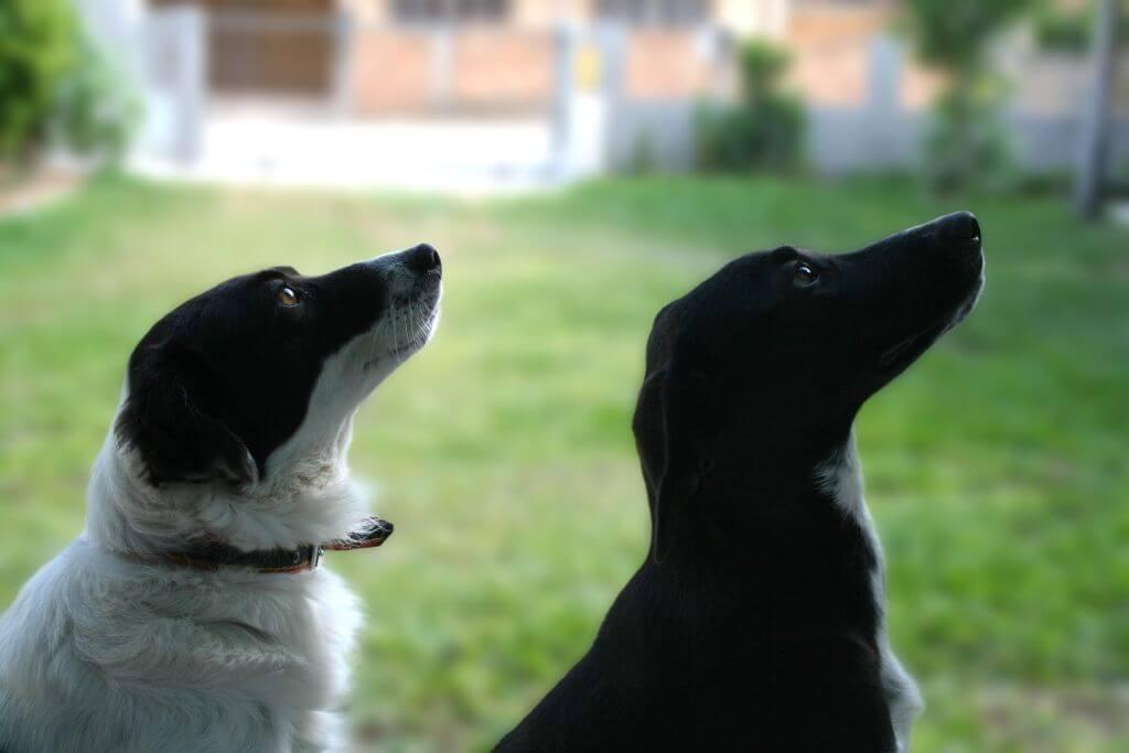 Foto: Zwei Hunde schwarz und weiß sitzen. Hunde gucken nach oben